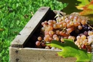 2020 szőlőtermesztés: kevesebb bor lesz idén, de kiváló lehet az évjárat