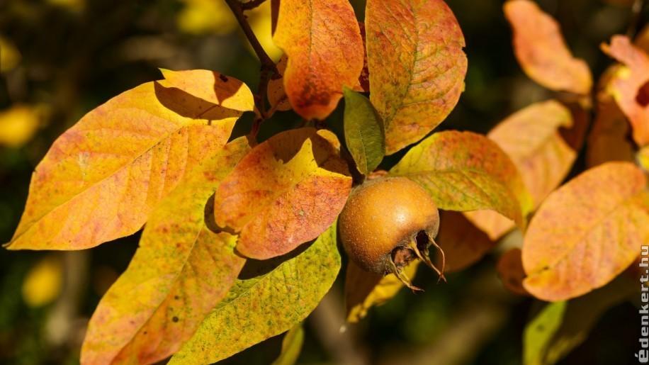 Méltatlanul feledett őszi-téli gyümölcsök: naspolya és birs