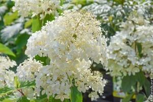 Hófehér színfoltja lehet kertünknek a bugás hortenzia