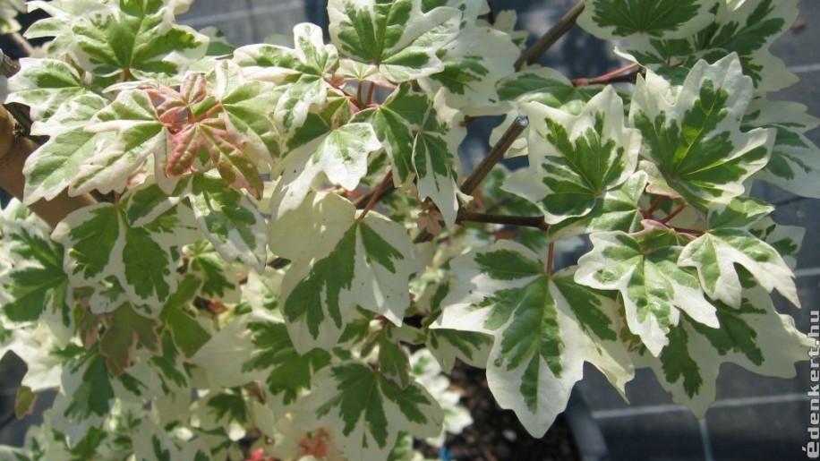 Szoliter szépség a kertben: fehér-tarka levelű mezei juhar