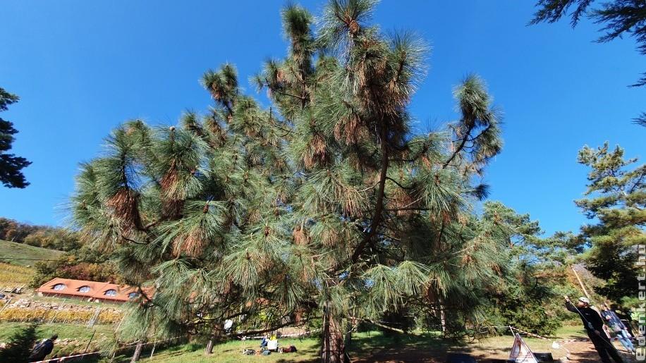 Mutatjuk, hogyan szüretelték a tobozt a Folly Arborétumban!