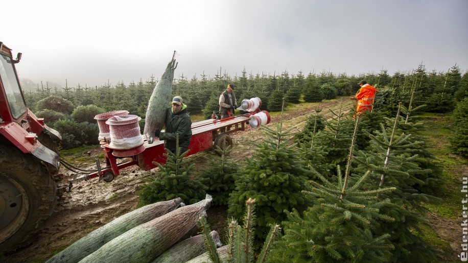 Karácsonyfa árak 2020: mennyiért lesz idén fenyőfánk?