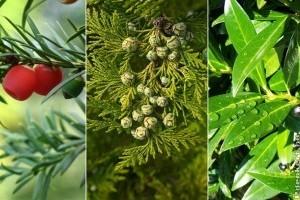 5+1 növény, amit tuja helyett ültethetsz