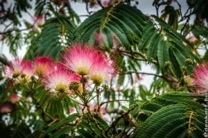 Téltűrő selyemakác: egzotikus díszfa a kertünkben