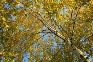 Különleges lombszín: aranysárga nyírfa