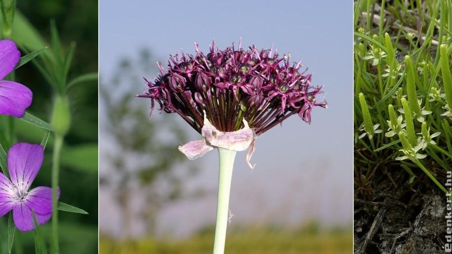Szavazz, mely virág legyen 2021 vadvirága