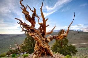 Több mint 5000 éves a Föld legöregebb fája