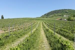 A talajművelési gyakorlat módosíthatja a szőlőtőkék alatti mikroszkopikus élővilágot