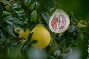 Pomelo, avagy óriás citrusféle hálóban
