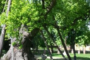 Kocsányos tölgyek Magyarország legöregebb fái