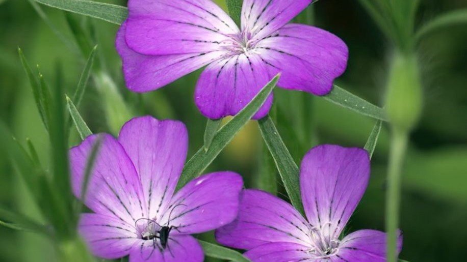 A gyönyörű lila vetési konkoly lett 2021-ben az év vadvirága