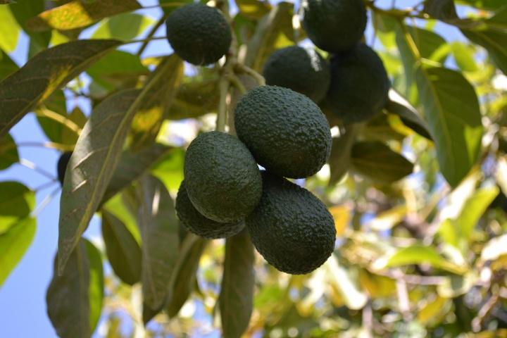 avocado-2828639_1920