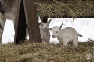 Cuki hófehér iker kecskegidák születtek a Debreceni Állatkertben