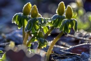 Idén már januárban virágzik a téltemető virág