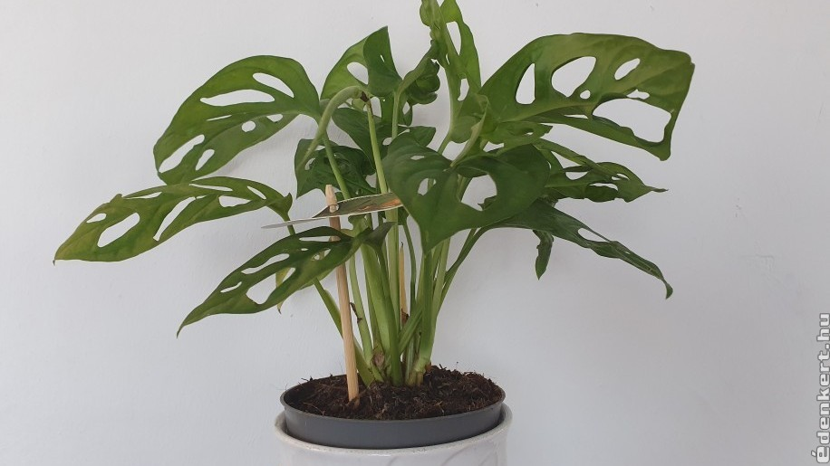Adanson monstera az egyik kedvenc szobanövényünk