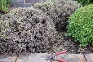 Hogyan kell tavasszal az elöregedett, felkopaszodott levendulát metszeni?