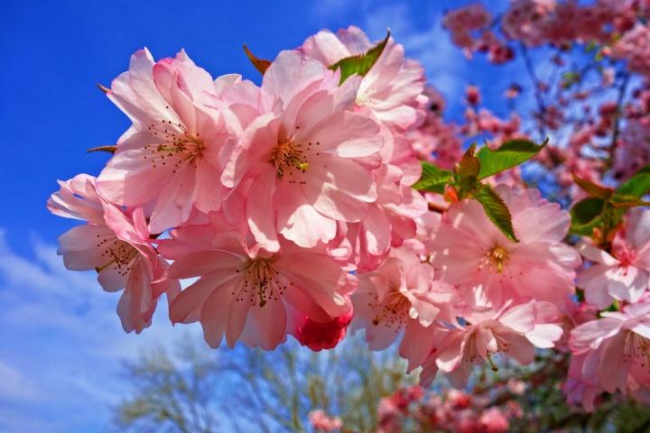 cherry-blossom-3320018_1920