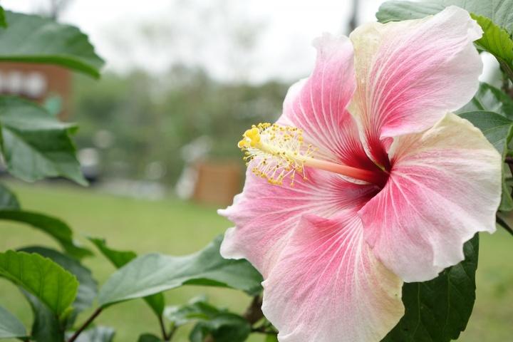 hibiscus-1583078_1920