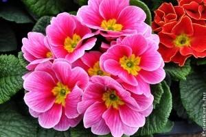 Primula, az egyik legnépszerűbb virág Valentin-napra és nőnapra