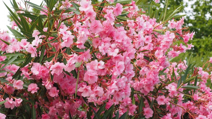 oleander-1521525_1920
