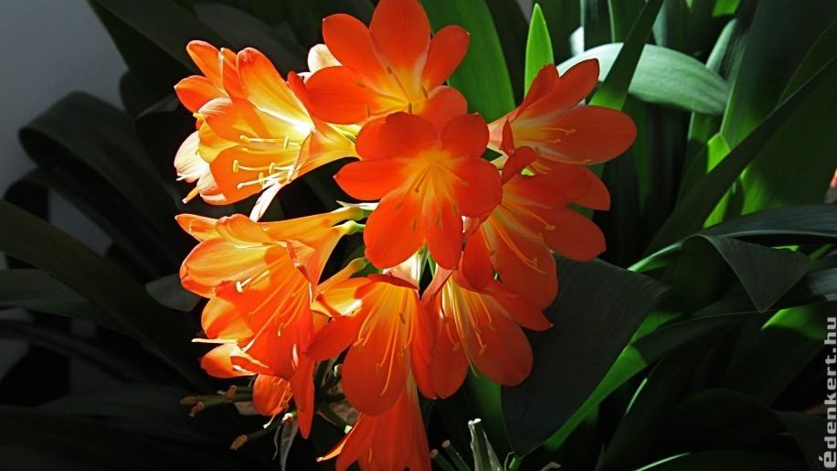Klívia: narancssárga csoda a lakásban