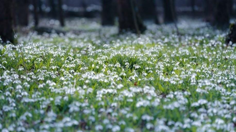 Idén valószínűleg csak online csodálhatjuk meg a hóvirágokat az Alcsúti Arborétumban