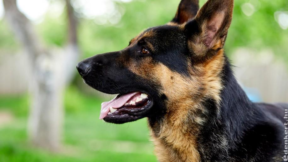 Kutyazóna: kiváló házőrző kutyák