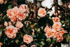 5 jó tanács, hogyan metsszük meg tavasszal a rózsát!