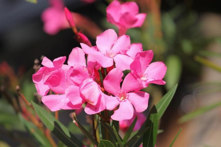 oleander-3628794_1920