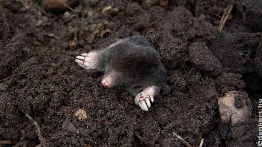 Hasznos vagy káros állat a vakond?