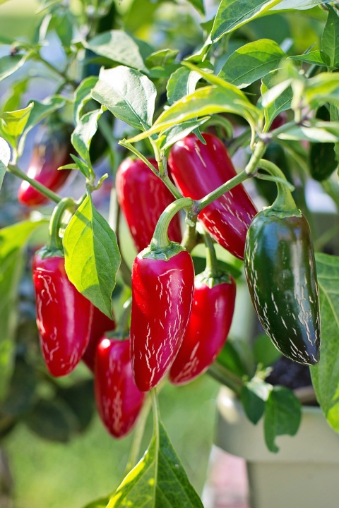 jalapeno-peppers-2708676_1920