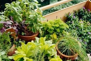 3 zöldség, amit cserépben  is lehet nevelni