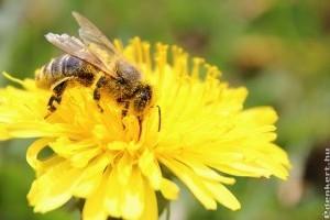 Árvacsalán és pitypang - méhlegelő tavasszal a kertben