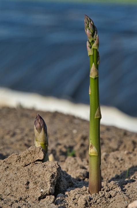 asparagus-5151353_1920