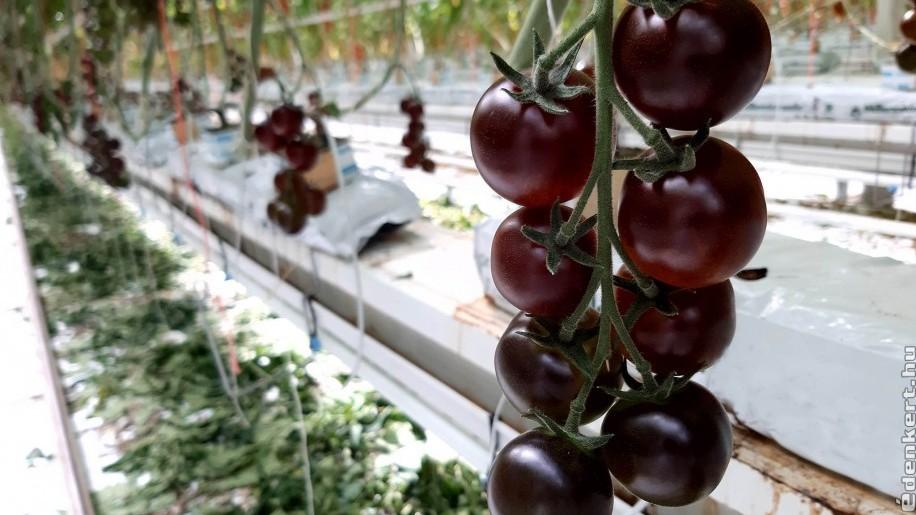 Már Magyarországon is lehet különleges ízű, sötétlila paradicsomot kapni