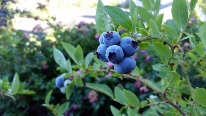 rubel-blueberry-2918485_1920