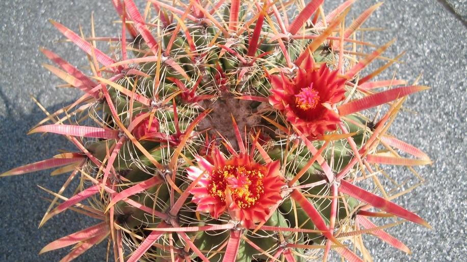 Gyönyörű és különleges kaktuszokkal várja látogatóit a Tavaszi Országos Kaktuszkiállítás-és vásár