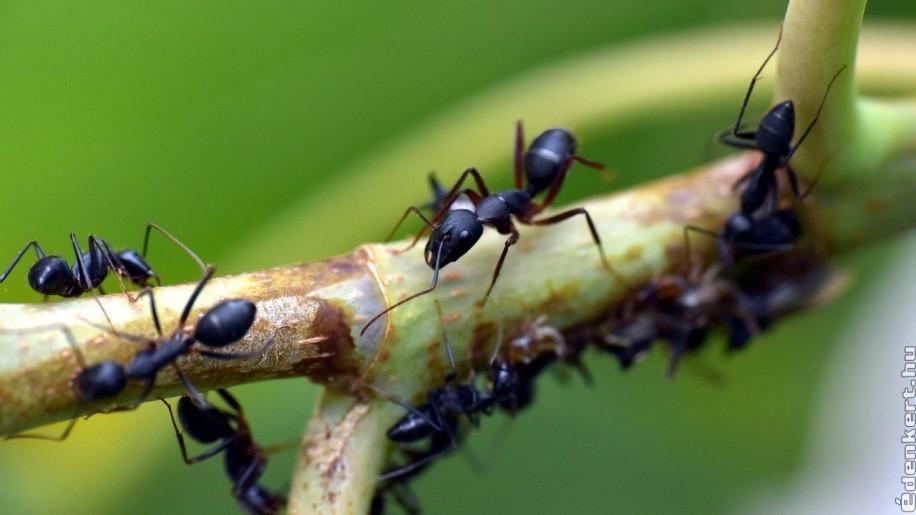 Így védekezzünk a hangyák ellen!