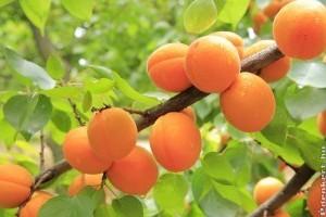 Nettó 260 ezer forintért is alig van, aki leszedné a gyümölcsöt