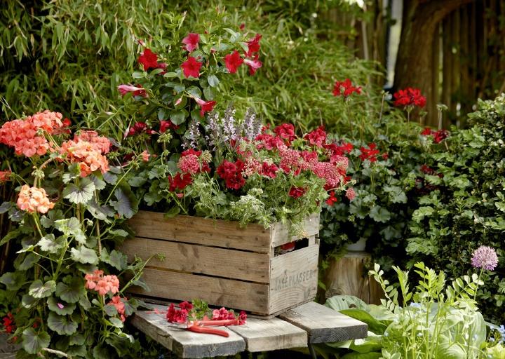 2021_geraniums_1000_my_freestyle_garden_03