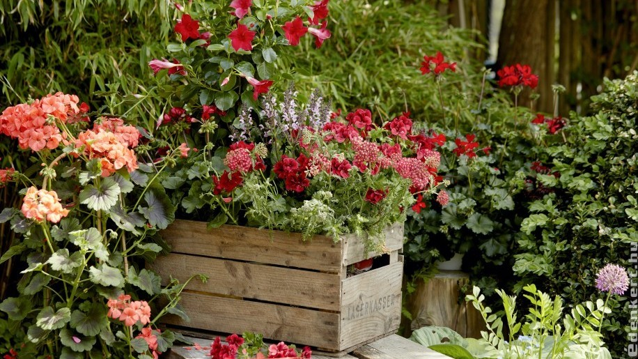 Milyen növényeket ültessünk a muskátli mellé?
