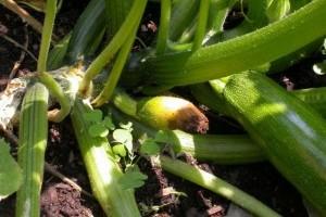 Mit tegyünk, ha rothad a cukkini termése, foltos a levele vagy fehér a szára?