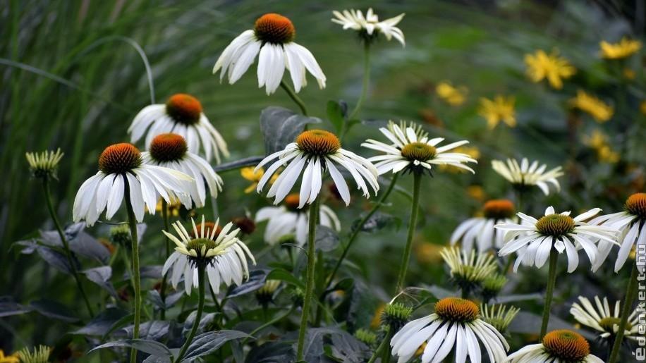 Napimádó növények - 5 virág, ami jól tűri a hőséget