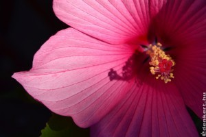 Így lesz gyönyörű a mocsári hibiszkusz!