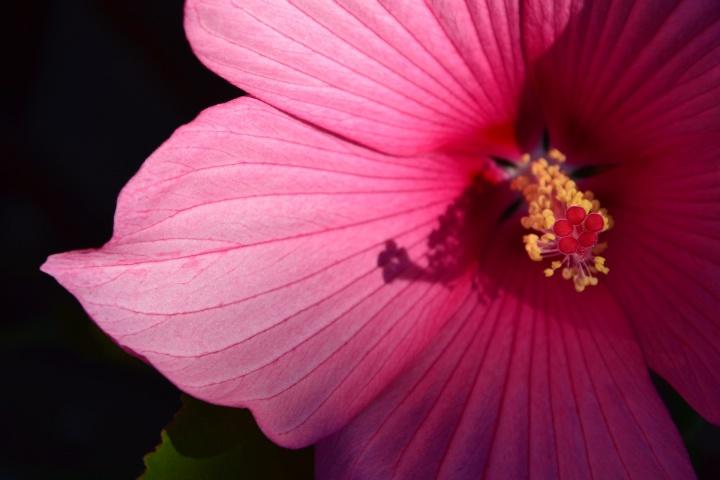 swamp-hibiscus-5499804_1920