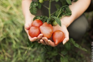 A növények is éreznek: vészjelzést küld a paradicsom, ha megtámadják