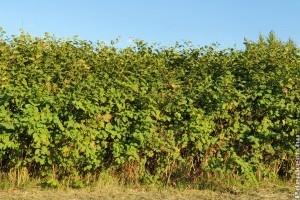 Japán keserűfű egy gyomnövény, ami óriási károkat okoz