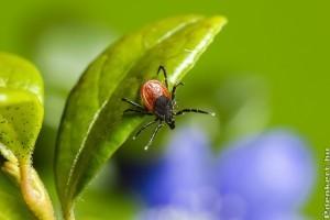 Augusztus a kullancsok kedvenc hónapja - hogyan védekezzünk ellenük?