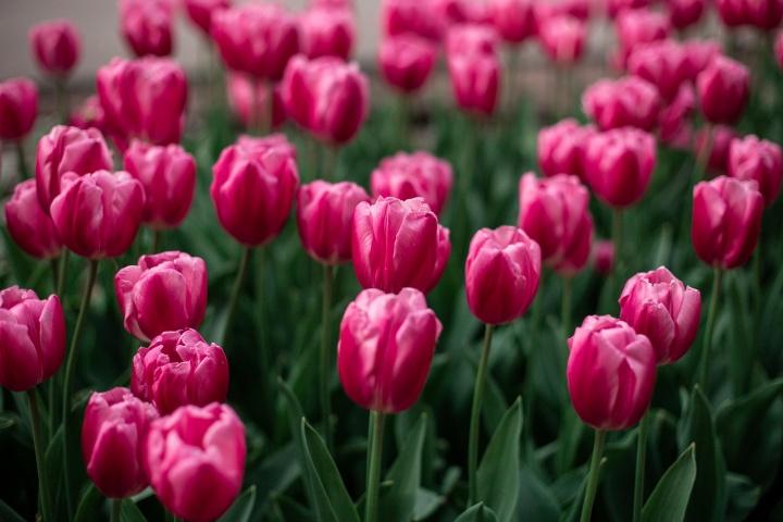 pink-tulips-blooming-field