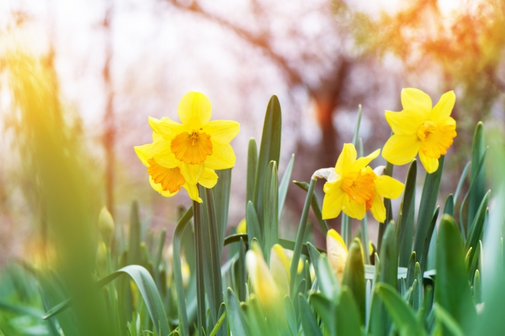 yellow-daffodil-narcissus-blooming-garden